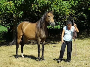 chevaux-a-vendre-akhal-teke-Dengiz-demi-sang-male