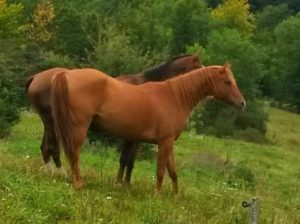 chevaux-a-vendre-akhal-teke-demi-sang-Vepalylyk-hongre-Arasier