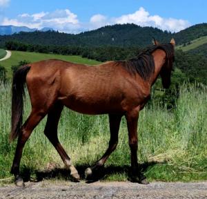 Cheval-a-vendre-akhalteke-pursang-male-poulain
