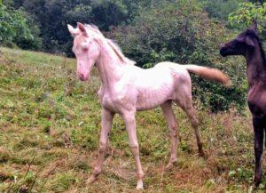 Cheval-a-vendre-akhalteke-pursang-femelle-poulain